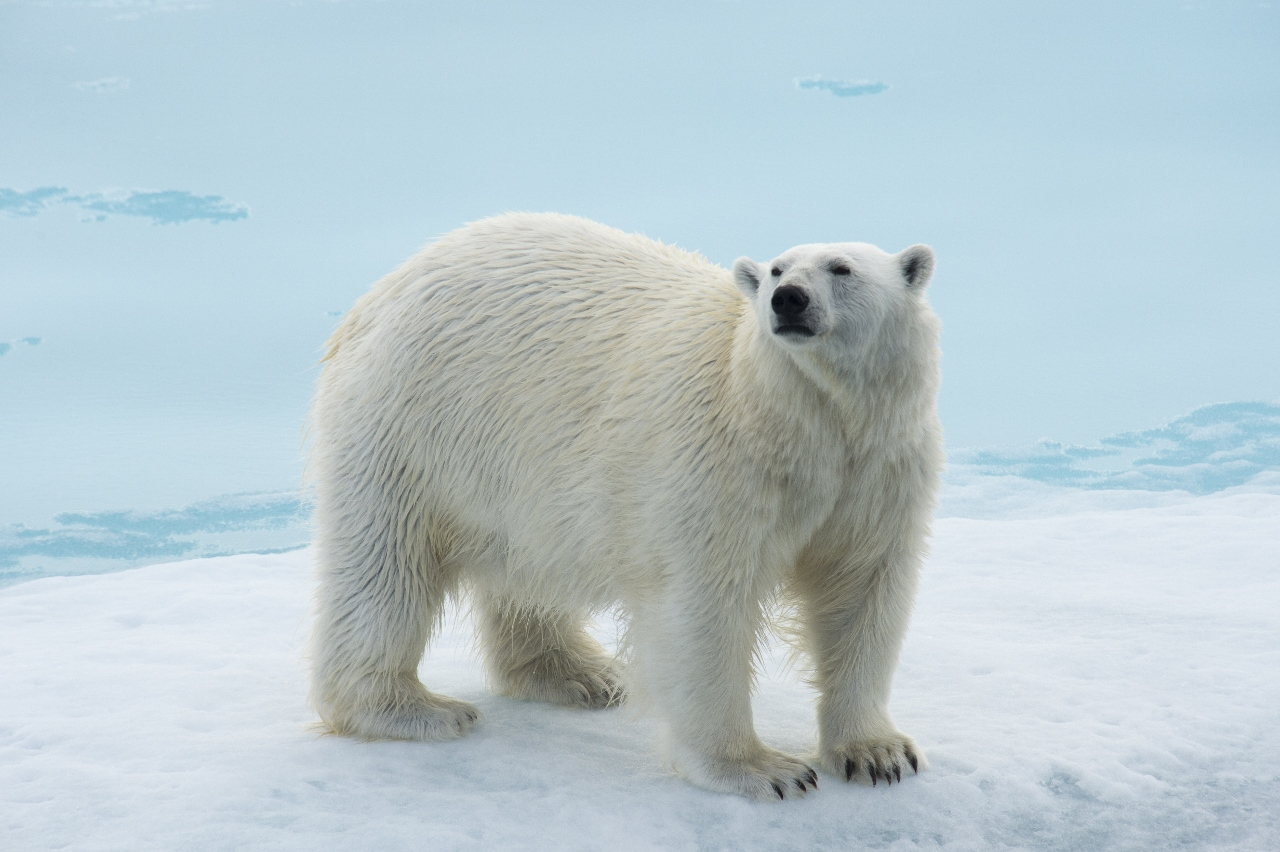 View polar bears on Aurora Expeditions