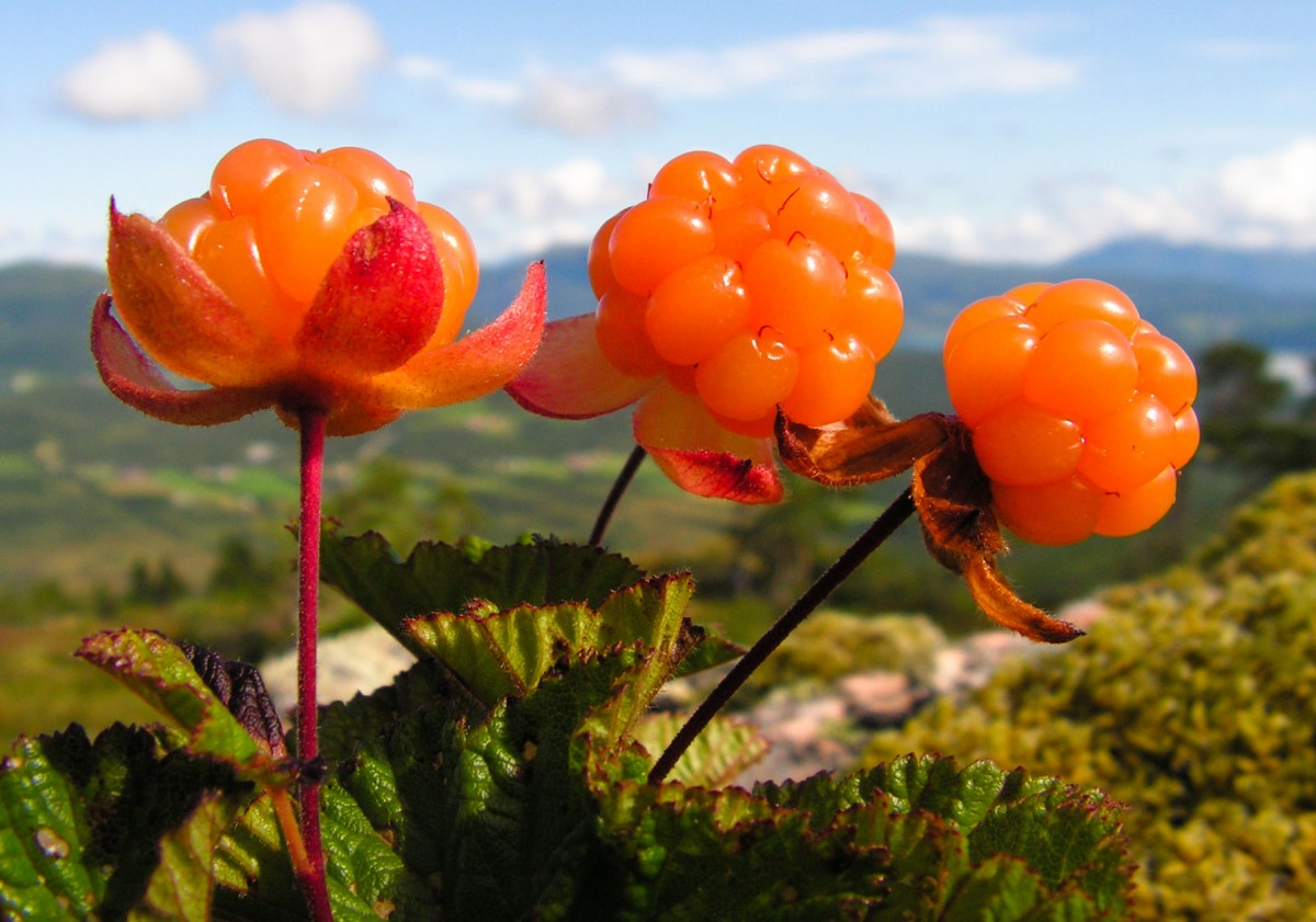 Local delicacy Norwegian Cloudberries were the backbone of today's dish.