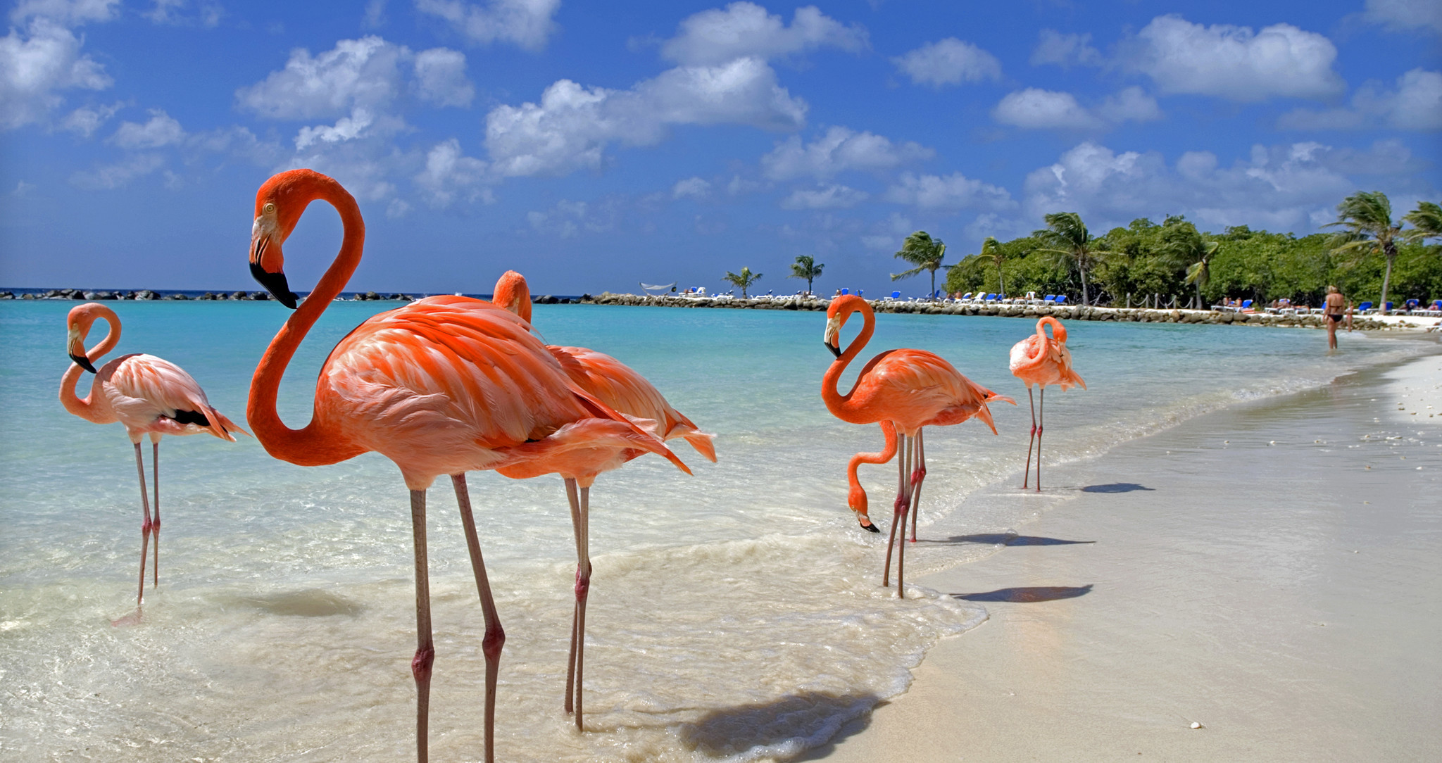 "Flamingos enjoying the beach in Aruba one of the ""ABC"" islands normally featured on Southern Caribbean itineraries."