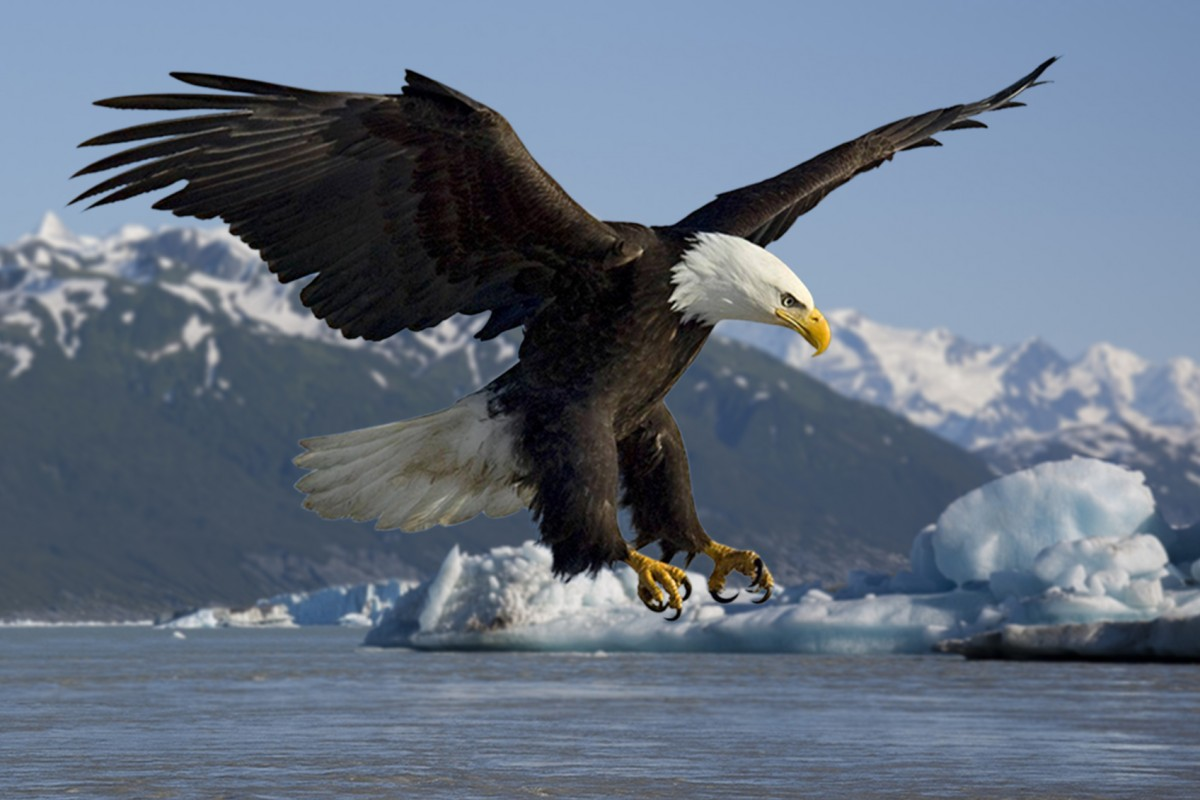 Spotting a bald eagle is much easier during September when they take advantage of the easy prey.