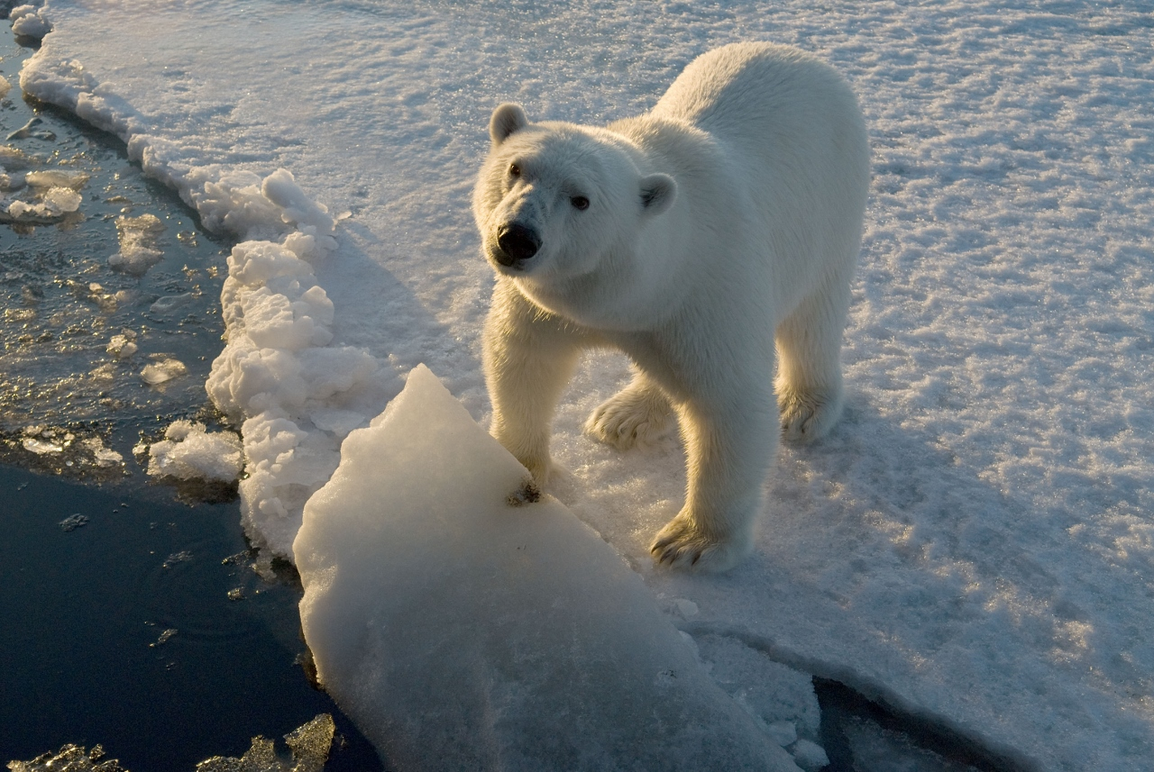 The World Wildlife Fund is active in promoting the plight of polar bears and taking steps for their long-term survival.